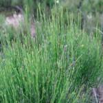 Beispiel einer Ephedra-Pflanze